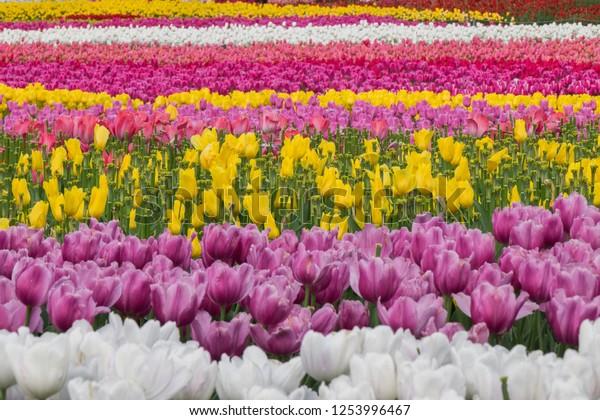 Tulip Field Nabana No Sato Famous Stock Photo Edit Now 1253996467