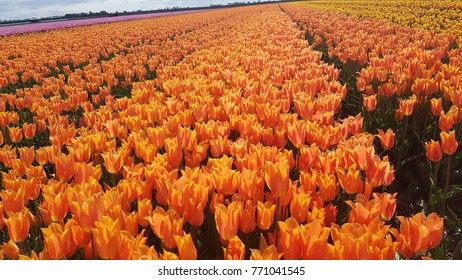 Tulip Field in the Netherlands Orange Flowers Plant Fresh
