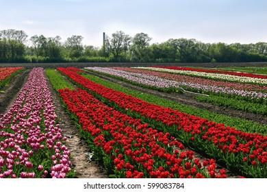 Tulip field on spring sunny day.