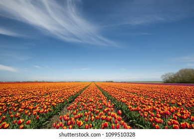 Tulip field on a sunny day with a few clouds - tulpenveld