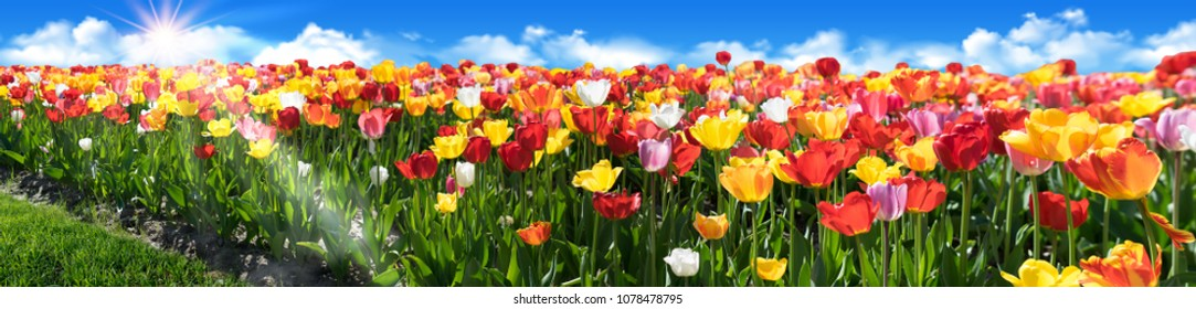Tulip field Panorama with beautiful colours. Tulip flowerbed with blue sky and sunrays.