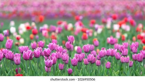 Tulip field. Purple tulip
