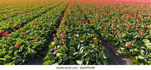 Tulip field with red tulips