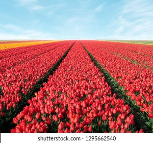 tulip field rows with sky