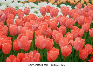 Tulip field, Spring, Flowers field, Tulips, Red tulips, Yellow tulips, Pink tulips, Sea of flowers.