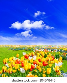 tulip field. spring landscape with colorful flowers and blue cloudy sky