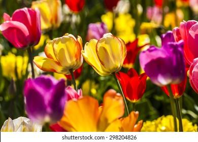 Tulip field in spring, Lower Saxony, Germany, Europe