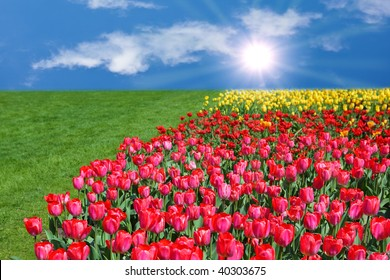 Tulip in the field in the summer time
