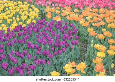 Tulip field in Tokyo, Japan