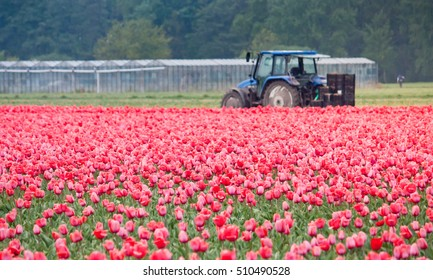 Tulip field and a tractor