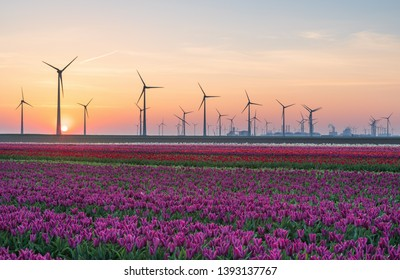 Tulip field and wind turbines during sunrise in the Dutch countryside. Eemshaven, Groningen, Holland.