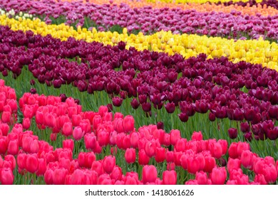 Tulip Fields in Abbotsford, British Columbia.