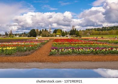 Tulip fields and bloom Woodland Washington state.