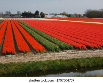 Tulip fields near Amsterdam, the Netherlands
