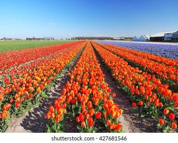 Tulip fields near Keukenhof garden, Lisse, the Netherlands