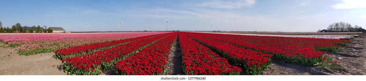tulip fields in the Netherlands