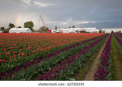 Tulip fields and rainbow