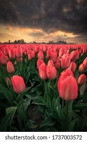Tulip fields at sunset. Keukenhof, Lisse, Holland