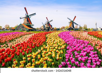 tulip fields of various colors with windmills in the background. Holland