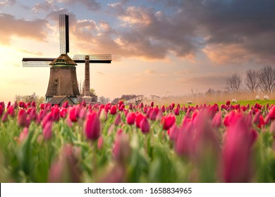 Tulip fields and windmill in Netherland, near Lisse.