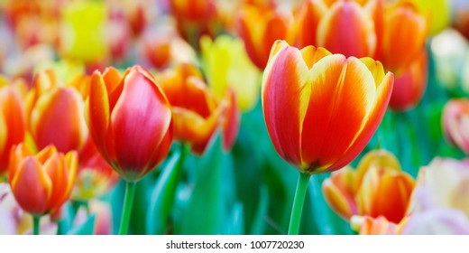 Tulip flower background, Colorful tulips meadow nature in spring, close up
