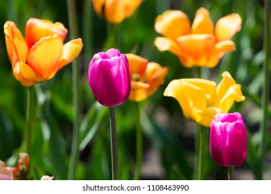 Tulip Flower. Beautiful bouquet of tulips. colorful tulips. Tulips in spring at the garden,colorful tulip, nature background.