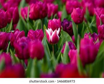 Tulip flower blossom spring floral