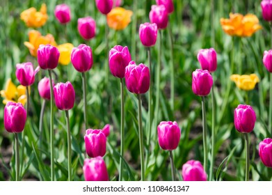 Tulip Flower. Colorful tulips. Beautiful bouquet of tulips. Tulips in spring at the garden, colorful tulip, Nature background.