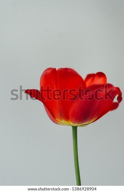 Tulip Flower Cultivation Tulips Care Tulips Stock Photo Edit Now