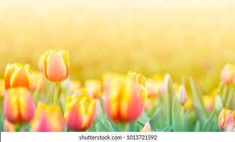 Tulip Flower in Garden. B,Nature background.