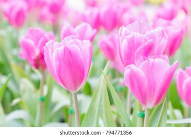 Tulip flower in garden and green leaf background at winter or spring day for postcard beauty decoration and agriculture concept design.