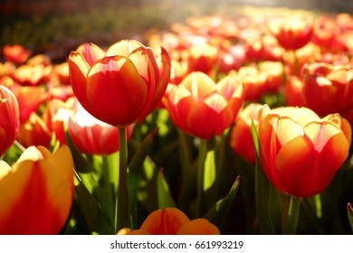 Tulip flower garden in the morning light