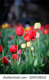 Tulip. Tulip Flower in Garden. Nature background.