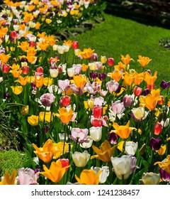 Tulip Flower Garden in a Springtime Yard