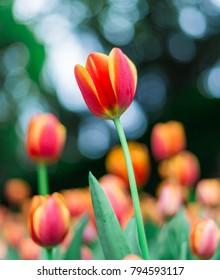 Tulip Flower in the Garden.,Nature background.