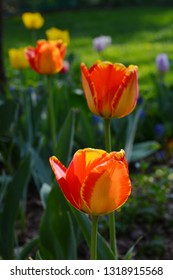Tulip flower with green leaf background in garden. Group of colorful tulips by sunlight. Orange, red, yellow.