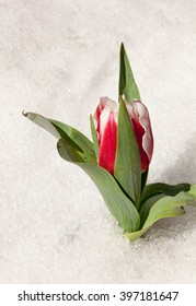 Tulip flower growing through the snow.