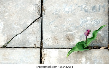 The Tulip flower grows in a crack of the sidewalk.
