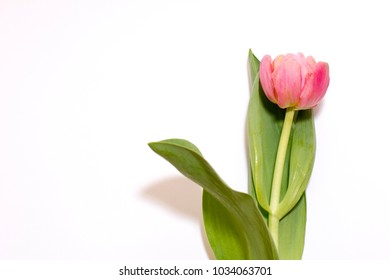 tulip flower rose