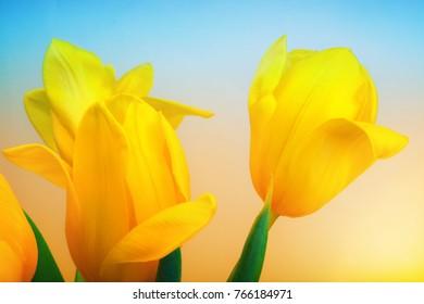tulip flower in studio quality 8 March