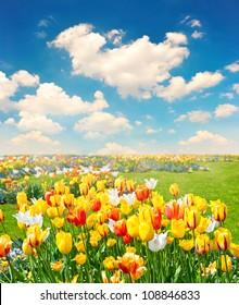 tulip flowers field over cloudy blue sky