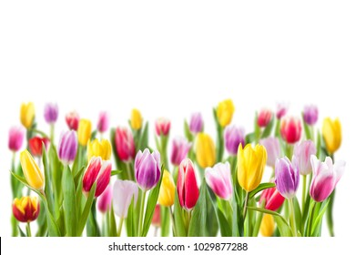 Tulip flowers isolated on white, selective focus. Spring nature background for web banner and card design
