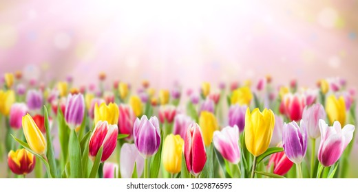 Tulip flowers meadow, selective focus. Spring nature background for web banner and card design