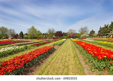 Tulip flowers on the field in the spring time