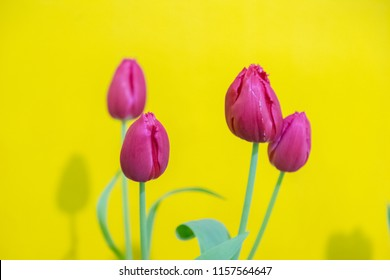 Tulip flowers selective focus with green use for nature background