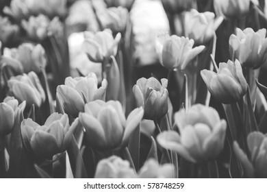 Tulip full bloom in monotone