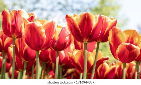 Tulip garden blooming on season and filed fill full colorfull of flowers. Tulip festival Morges, Switzerland.