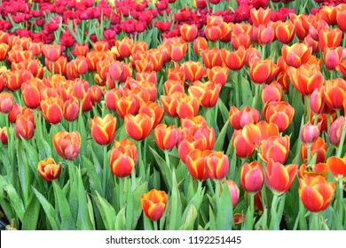 Tulip garden. Colorful flower in the field. Red, yellow and orange flora plants landscape view.