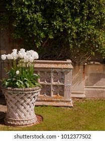 Tulip in the garden pot