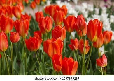 Tulip garden variety Albert Heijn